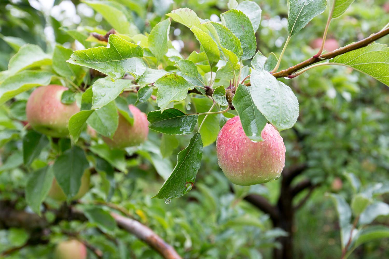 05-Lenswood-Apples-2246.jpg
