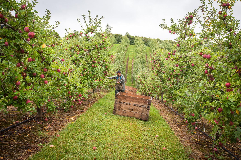 06-Lenswood-Apples-2590.jpg