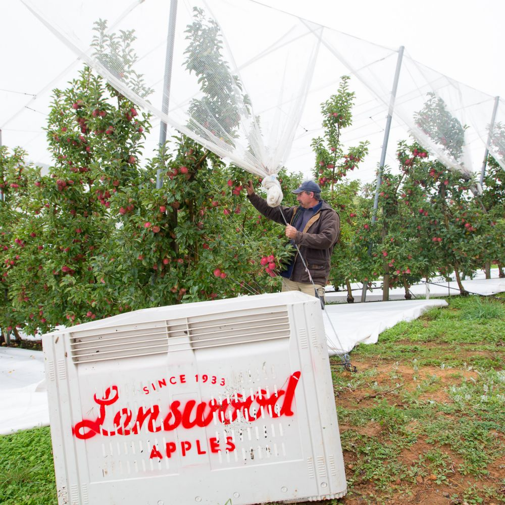 10-Lenswood-Apples-2453.jpg