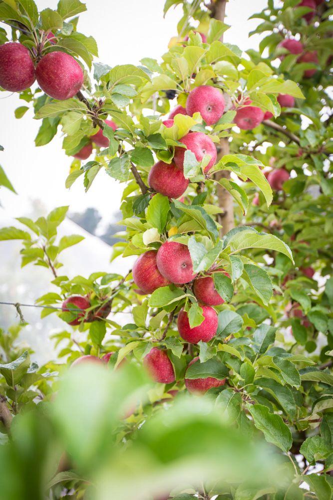 12-Lenswood-Apples-1239.jpg
