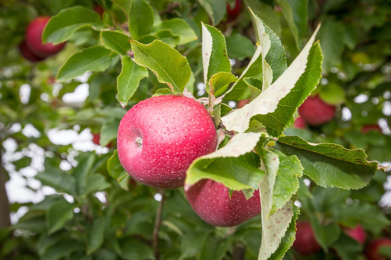 11-Lenswood-Apples-1229.jpg