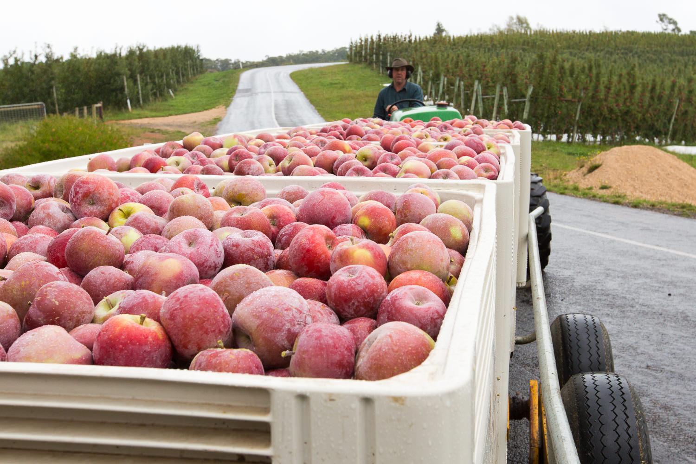 19-Lenswood-Apples-1134.jpg