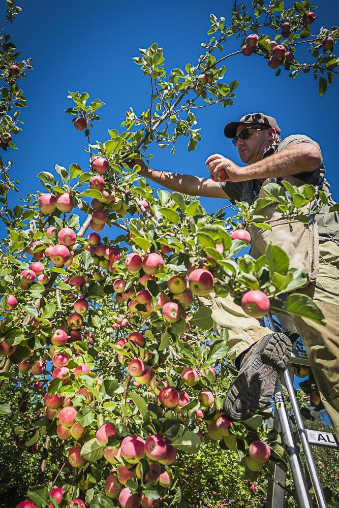 lobo-cider-apples-0291.jpg