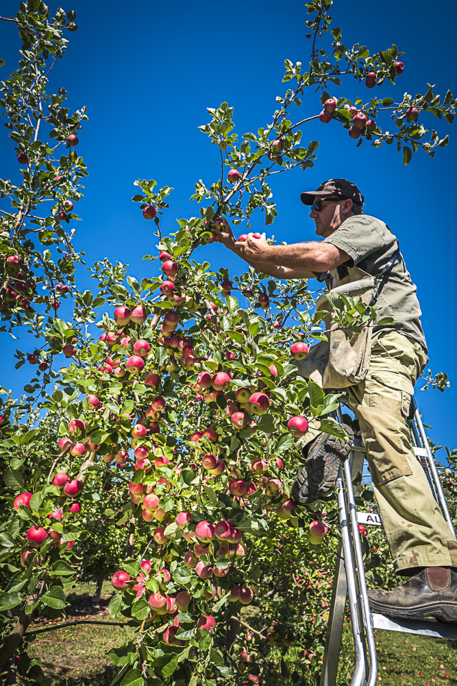lobo-cider-apples-0288.jpg