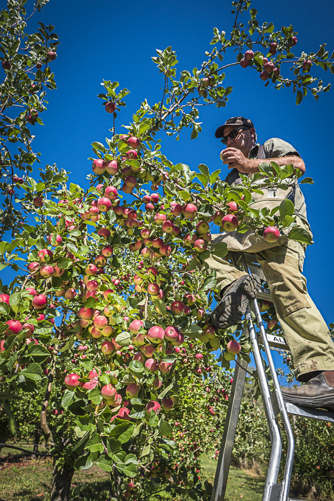 lobo-cider-apples-0292.jpg