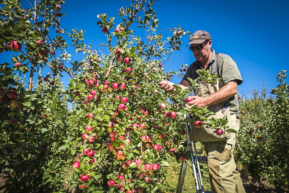 lobo-cider-apples-0331.jpg
