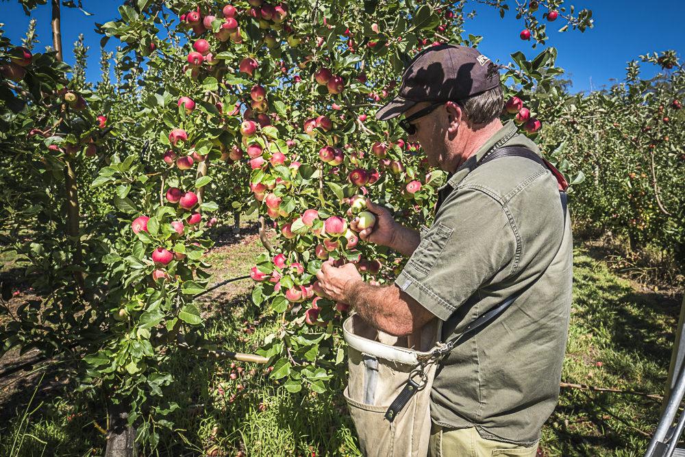lobo-cider-apples-0342.jpg