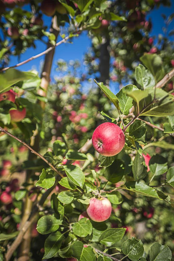 lobo-cider-apples-0438.jpg