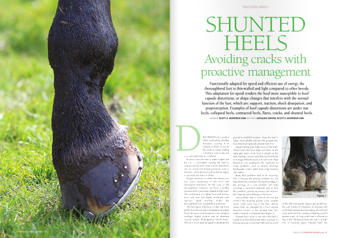 Functionally adapted for speed and efficient use of energy, the thoroughbred foot is thin-walled and light compared to other breeds. This adaptation for speed renders the hoof more susceptible to hoof capsule distortions, or shape changes that interfere with the normal function of the foot, which are: support, traction, shock dissipation, and proprioception. Examples of hoof capsule distortions are under run heels, collapsed heels, contracted heels, flares, cracks, and shunted heels.  DISTORTIONS are a result of either overloading a healthy structure, causing it to collapse or bend, or can be the result of under loading a structure, such as the case of a contracted heel on a clubfoot. In these cases the heel is under loaded and the toe is overloaded, causing the heel to contract and the toe to flare or dish. Distortions can also result from disease processes, such as laminitis, where the hoof wall in the toe region is separated and flares or dishes.  Fungal infections or white line disease can also cause weakening of the hoof and subsequent distortion. In the case of the thoroughbred racehorse, we have a healthy structure that is put under repetitive high loads. The combination of a lighter hoof with thinner hoof wall and sole depth combined with rigorous speed training makes the thoroughbred hoof susceptible to distortion.  The heel region of the hoof is softer and more pliable than the toe and is designed to dissipate shock. It house s such structures as the collateral cartilages, digital cushion and an abundant vascular system, all designed to absorb shock. The toe is more rigid, designed to penetrate the ground to establish traction. Since the heel is softer, more pliable and hits the ground first, hoof distortions typically present here first.  Speed training puts high force on the heels, which lowers the hoof angle over time. As the angle gets lower, more force is placed on the heel creating a vicious cycle that can be difficult to manage while the horse is in
