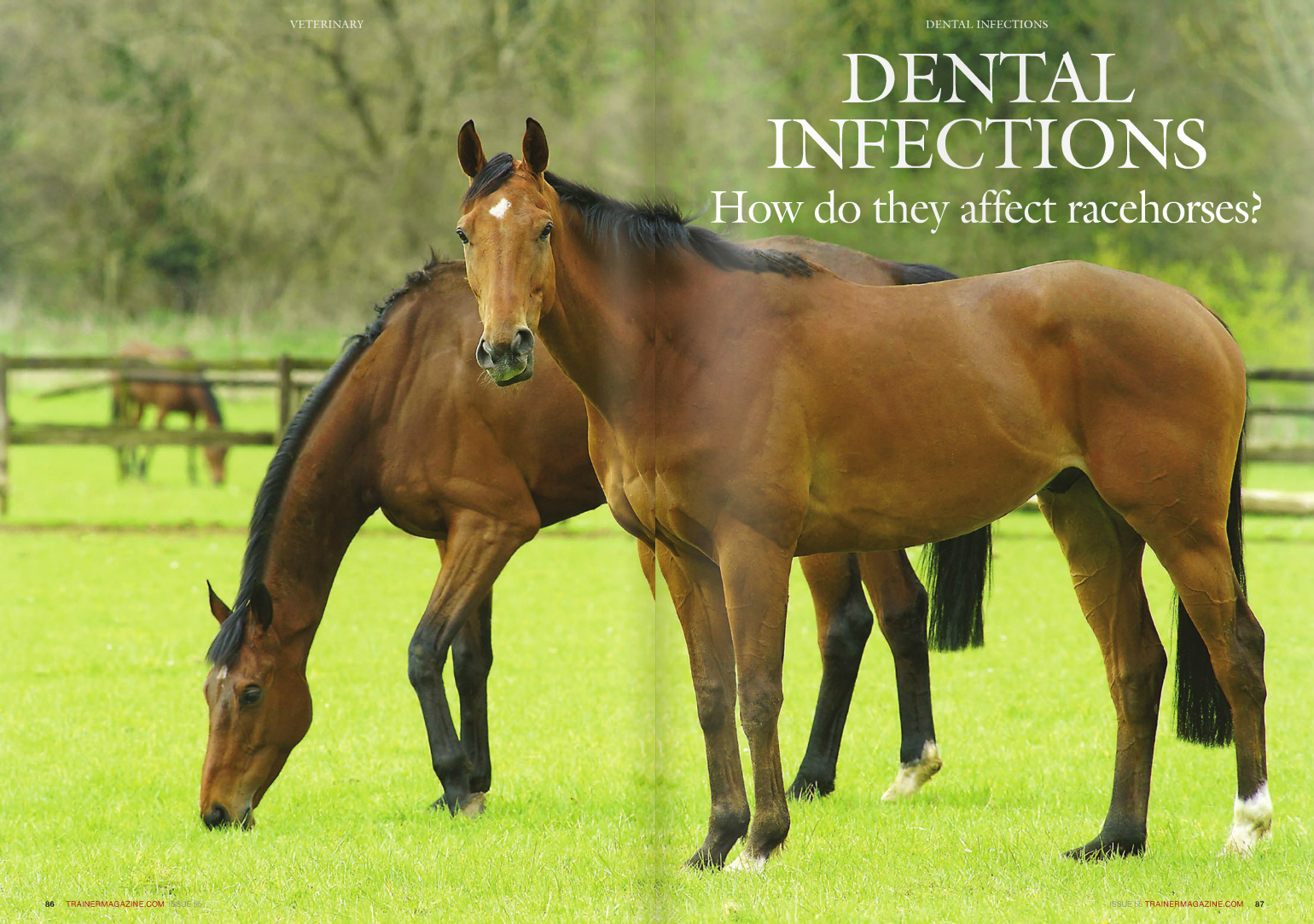 """What is a dental infection? The terms """"dental abscess,"""" """"tooth abscess,"""" """"dental infection,"""" """"apical infection,"""" and """"apical pulpitis"""" are all used to describe infections of the soft dental pulp inside the tooth which is a endodontic disease. This is in contrast to infections of the structures on the outside of the teeth or between them that are termed """"periodontal infections,"""" which are much more common in horses overall but are mainly seen in middle-aged and older horses. Why are dental infections significant to horses in training? Horses' teeth continue to erupt throughout the horse's life to replace the surfaces that are gradually worn away by chewing of cereal and forage foods. This is in contrast to the teeth of carnivores and primates whose teeth do not grow in adult life. In horses, the permanent teeth emerge from the jaws between the ages of one and five years, pushing out the deciduous (milk) teeth as they do so. For the next few years, the permanent teeth are actually growing in length from the root end as well as erupting. This period of very dynamic development within the horse's mouth often coincides with the peak athletic career of many racehorses and other equine athletes. How do endodontic infections affect the horse? It is easy to think of the teeth as inert lifeless structures, but they are actually complex, living structures which, like other tissues in the body, are susceptible to infection and disease. The soft dental pulp inside the tooth is essential to provide blood and nervous supply to the cells inside the teeth. These cells, called odontoblasts, are living tissue and are essential to the health of the tooth, as they produce dentine and repair the tooth from the inside in response to the stresses and micro-damage of normal chewing. More importantly, equine teeth, in contrast to our own teeth, have a bridge of secondary dentine, which replaces the dentine that is worn off the surface during normal chewing and separates the delicate pulp ins"""