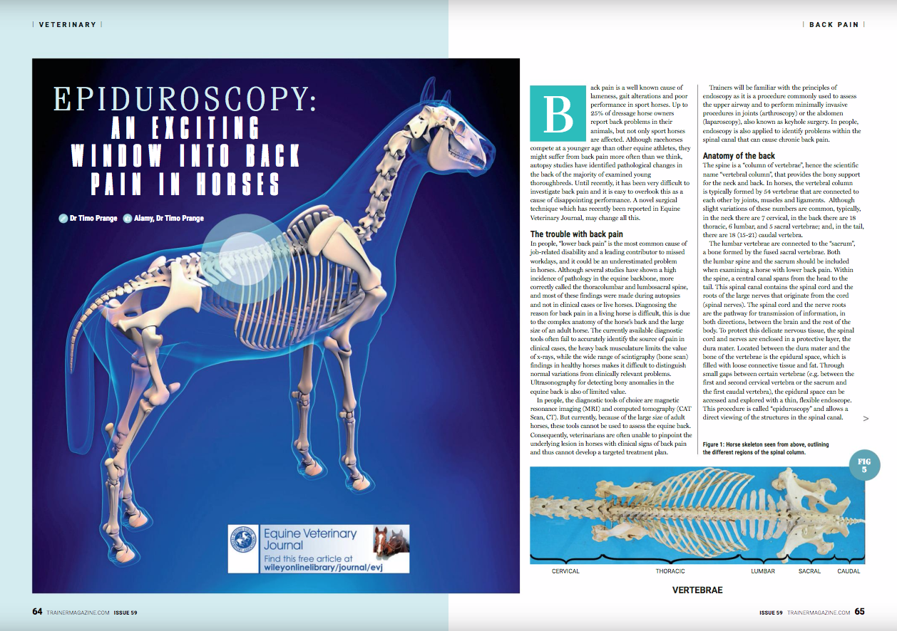 Back pain is a well known cause of lameness, gait alterations and poor performance in sport horses. Up to 25% of dressage horse owners report back problems in their animals, but not only sport horses are affected. Although racehorses compete at a younger age than other equine athletes, they might suffer from back pain more often than we think, autopsy studies have identified pathological changes in the back of the majority of examined young thoroughbreds. Until recently, it has been very difficult to investigate back pain and it is easy to overlook this as a cause of disappointing performance. A novel surgical technique which has recently been reported in Equine Veterinary Journal, may change all this.    an adult racehorse of average size, the complete sacral, lumbar and a small part of the thoracic spinal canal can be reached with a 60 cm endoscope.    How can epiduroscopy help veterinarians to find the source of pain in a horse with back problems?    While the spinal cord sends and receives signals directly from the brain, the spinal nerves are the communication pathway between the spinal cord and the body. Spinal nerves are, among other things, responsible for the movements of the muscles in the back and legs and for sending information about pain in the back and legs back to the brain. Injury to a spinal nerve can result in dysfunction of muscles or in pain. Fortunately, the spinal nerve roots are well protected from injury, first by the surrounding bony vertebrae and, after leaving the spinal canal, by a thick muscle layer. However, the nerve can be injured at the point where it exits the spinal canal. The spinal nerves exit the canal through the openings between two adjacent vertebrae. The opening is called the intervertebral foramina. Each opening is in close proximity to the facet joints that connect the vertebrae. Inflammation of these joints (facet joint arthritis) causes back pain and results in irregular growth of bone around the arthritic joint.      W