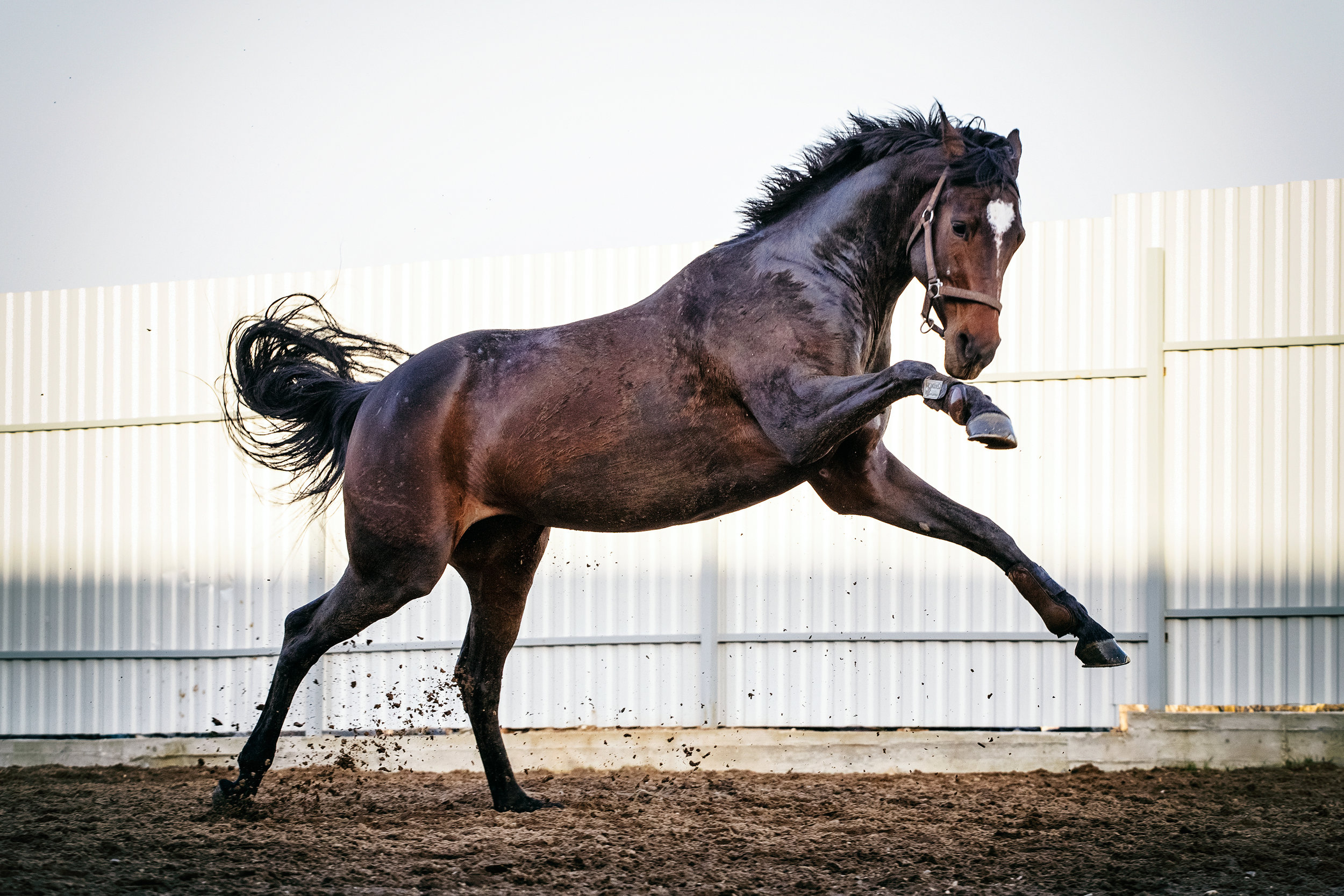 A recent study published in the Equine Veterinary Journal assessed the routine procedure of gelding and the complications associated with this procedure. The research was a retrospective study of horses castrated at the Sha Tin training complex in Hong Kong, between July 2007 and July 2012.    Hong Kong is a unique training and racing environment, and all horses training and racing there are imported, as there is no breeding in the region. Fillies are rarely imported. The majority of colts are castrated at some stage in their career, and open standing castration (OSC) is the method of choice by the vets of the Hong Kong Jockey Club (HKJC). Until now, nobody has looked at the prevalence of complications following castration of horses at the HKJC. This recently published study aimed to describe the prevalence and severity of complications in the 30 days following castration.    Reasons for gelding a racehorse in training    Most trainers perceive geldings as easier to train than colts, and if the horse has not shown enough ability for a stud career to beckon, there is little to lose by gelding. In Hong Kong, due to the unique environment the horses live in, there is an added incentive to geld these horses sooner rather than later. Once gelded, their management becomes significantly more straightforward.    Castration Method Options    Three surgical techniques are commonly used for equine castration: 1) open, in which the parietal tunic surrounding the testicle is incised and, usually, retained; 2) closed, where the portion of the parietal tunic surrounding the testis and distal spermatic cord is removed, and 3) half closed, where an incision is made through the exposed parietal tunic at the cranial end of the testis or distal end of the spermatic cord allowing the testis and part of the spermatic vasculature to be prolapsed through the incision prior to removal.    In most cases, racehorse castration is done standing via the open technique under local anesthetic, wit