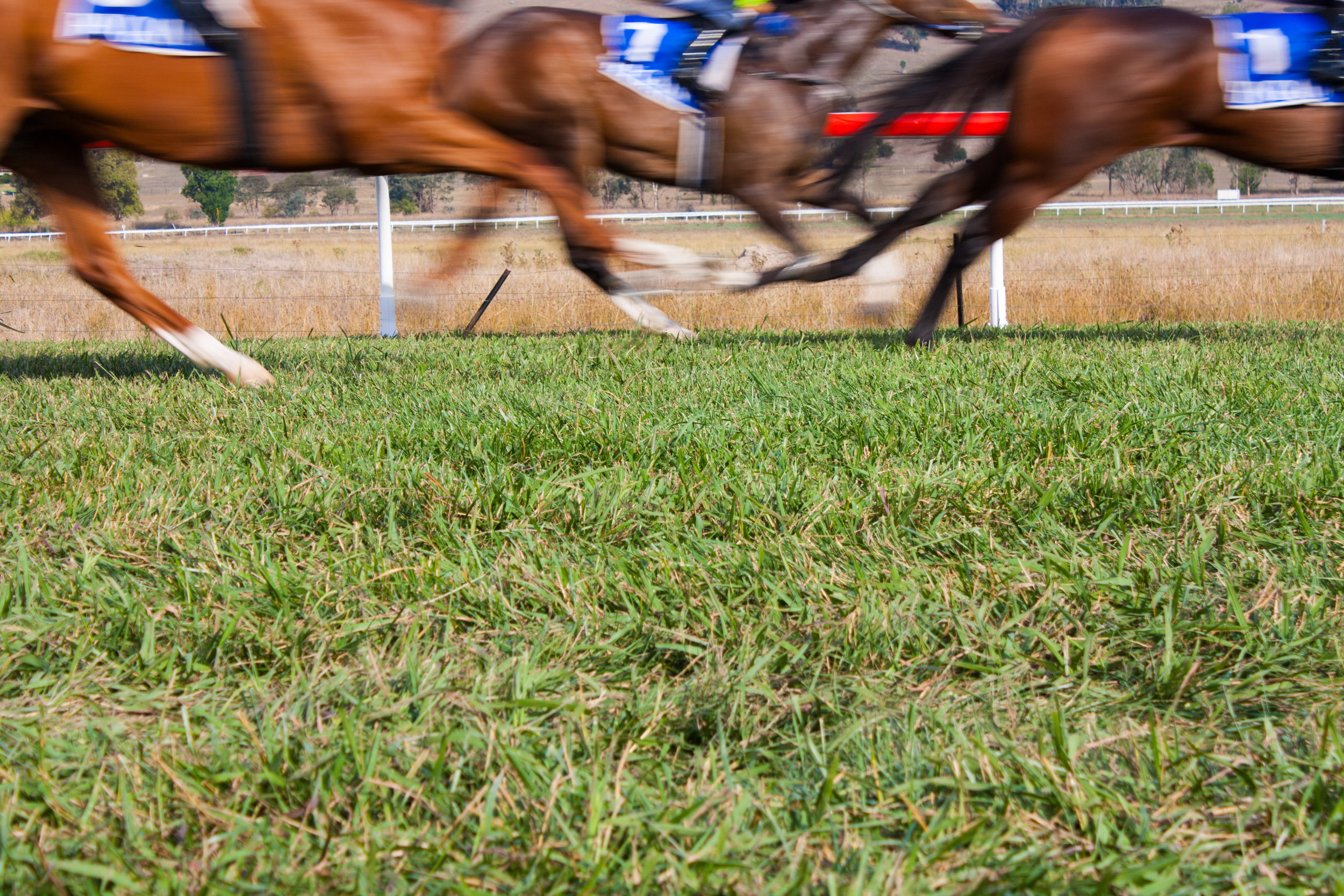 "HBLB Research on Injuries in Flat Racing: Nature versus Nurture    Note: This research for this article, reprinted from European Trainer, was performed over a 14-year period in Great Britain and therefore only takes into account racing over turf and all-weather surfaces, but we feel that despite not including dirt statistics, the information is thought-provoking and of interest to our North American readers, especially with the increase in turf racing particularly in the U.S.       Musculoskeletal injuries are an inherent risk of horseracing, and they are the primary cause of Thoroughbreds failing to train and race, or even retiring altogether. In addition to the evident equine welfare concerns, racehorse injuries also have economic consequences and impact on jockey safety. The industry remains committed to investigating causes of injury and associated risk factors, which can inform strategies aimed at minimizing their occurrence. Advancements in methods of identification, management, and prevention of musculoskeletal disease and injury in Thoroughbreds and improved training and racing environments to enhance the safety, health, and wellbeing of racehorses have long been strategic priorities of the Horserace Betting Levy Board (HBLB)'s veterinary research funding program in Great Britain.     In 2014, the HBLB funded a research team at the Royal Veterinary College in London to undertake a detailed study of injuries and other veterinary events occurring in flat racehorses on race day. The purpose of the project was to establish causes of fatal and non-fatal injuries occurring in British flat racing and to examine associated risk factors. The research also set out to measure heritability of common injury types and conditions, and to investigate genetic and environmental correlations between injury and race performance.    The study team had access to detailed race and performance data from all Thoroughbreds racing on the flat in Great Britain over a 14-year study period from 2000 – 2013. These were then linked to veterinary reports of injury or conditions attended to by a veterinary surgeon on race day over the same time period, provided by the British Horseracing Authority (BHA). Finally, extensive pedigree data were added to enable investigation of heritability of race day injury and genetic correlations between injury types, and between injury and performance.     Descriptive findings    The final 14-year dataset included nearly 68,000 horses making over 800,000 starts in around 77,000 flat races. The majority of races -- 67% of them -- were run on the turf, with 33% of races taking place on all-weather tracks.    Just under 8,000 veterinary events were recorded over the study period, from which an incidence of nine events per 1000 starts was calculated. The most common incidents requiring veterinary attention on the racecourse were soft tissue injuries other than tendon and ligament injuries, e.g. wounds, lacerations, or muscle strains. Unspecified lameness and respiratory conditions were also common, accounting for around a fifth of veterinary reports each. Less than 10% of veterinary events had a fatal outcome, and the overall incidence of fatality was 0.8 per 1000 starts. Although bone injury was cited in only 14% of the veterinary reports overall, they accounted for the vast majority (77%) of the fatalities.    All-weather racing    Racing on all-weather tracks traditionally carries a higher risk of injury than racing on turf, which was reaffirmed in the current analyses. Therefore, the researchers also specifically investigated risk factors for fatality, distal limb fracture, and epistaxis (nose bleeds) in all-weather racing. These analyses were restricted to the ca. 258,000 all-weather starts in the dataset and included additionally collected information from the racecourse clerks on surface types and maintenance. The fatality incidence in all-weather racing was 0.9 per 1000 starts. Distal limb fracture occurred in around 1 in 1000 starts and epistaxis in 1.6 per 1000 starts. Risk factors varied for each outcome, although some factors were similar across outcomes including the going, racing intensity, horse age, age at first start, and horse and trainer performance variables. Generally, older horses and those that had started racing at an older age were at higher risk of an adverse outcome although for fatality, older horses that had started racing as two-year-olds were at highest risk. This association may be due to accumulation of microdamage in bone, which increases with increasing age as an effect of exercise accumulation over time and can ultimately lead to failure.  The finding that horses that start racing at an older age may be at increased risk of injury is not novel, and it has been suggested that those which do not race at two may be prevented from doing so due to underlying clinical problems. Injuries, or other clinical conditions, at an early age are also likely to interfere with training programs, which may result in a lack of musculoskeletal adaptation during a time when the skeleton is most responsive to exercise. Increasing firmness of going and first race start were risk factors for both distal limb fracture and epistaxis, a finding that is consistent with previous studies. Also consistent with previous research was that longer race distances increased the likelihood of fatality but reduced the risk of epistaxis. This is likely to be due to the speed of the race, with faster races inducing greater pulmonary vascular pressure and higher peak loading forces. Epistaxis was also more likely to occur on fibersand surfaces and on second generation Polytrack, as compared to first generation Polytrack.     Risk factors for fatality    In addition to the specific investigations for all-weather racing, the research also considered data from all starts available. This confirmed that the risk of fatality was around 1.5 times higher on all-weather surfaces than turf. Increased firmness of the going, increasing racing distance, increasing average horse performance, first year of racing, and wearing eye cover for the first time all increased the risk of fatality. The latter finding has not been reported previously, and it is currently unclear why wearing eye cover for the first time should increase the risk of fatality. Perhaps this could be due to a change in the horse's depth perception or ability to judge distance, detect changes in the racing surface, or avoid interference by other horses.  Alternatively, it could be that trainers decide to use eye cover in an attempt to enhance performance, with poor performance resulting from subclinical pathology. Such horses would be at higher risk of (fatal) injury, in particular when wearing eye cover for the first time. Further research in this area, particularly investigating when and why eye cover is used in flat racing horses and how eye cover affects the vision and the performance of horses under race conditions, is warranted.     Another novel finding was that horses racing in an auction race were at 1.5 times higher risk of fatality compared with horses not racing in this race type. Auction races are for two- or three-year-olds that were sold at specific public auction sales, and so this finding may reflect aspects of the quality of horses racing in this race type, which is difficult to measure.     It is noteworthy that there was significant variation in horse fatality risk amongst trainers, even after accounting for other risk factors in the analysis. While most trainers with a race day fatality only had one fatality over the study period, other trainers had more. Training practices are likely to play a role and may partly explain this finding, and further research incorporating training and exercise regimens into studies of this nature is sorely needed. Unfortunately, it was not possible to collect and incorporate training data into this large-scale retrospective study, and any such studies would likely have to be prospective and smaller scale, given that the keeping of training records is not compulsory and highly variable between training yards.     Risk factors for distal limb fracture    Separate analyses were also conducted to investigate risk factors for distal limb fracture, the overall incidence of which was 0.8 per 1000 starts. As for fatality, increasing firmness of the going, increasing racing distance, and horses in their first year of racing were at a higher risk of distal limb fracture, 50% of which had a fatal outcome.        Horses from trainers with high average performance but also a high proportion of runners failing to finish were more likely to sustain a fracture than horses from trainers with lower average performance.  As for fatality, training regimens may also play a role in explaining this finding, and it could be that trainers who employ more intense training strategies are more likely to be successful, but also have more injuries to their horses.     Other risk factors for distal limb fracture included sex, with uncastrated male horses being at highest risk, and older age. Race type was also associated with distal limb fracture, with horses in claiming and seller races being at higher risk. The reasons for this are unclear but may be related to the type and quality of horses in such races, or their being entered into these races due to previous poor performance, which may be related to underlying subclinical injury.     Heritability of injuries and other race-day veterinary events    Heritability is defined as the proportion of variation between individuals in a population that is due to genetic variation. This number can range from 0 (no genetic contribution) to 1 (all differences in a characteristic or trait reflect genetic variation). In this study, the heritability of 10 outcomes was calculated: fracture, tendon and ligament injury, joint injury, fatality, cardiac conditions, epistaxis, metabolic conditions, and 'gait observations' (unspecified lameness). Heritability estimates were adjusted for all environmental (i.e. non-genetic) risk factors identified from the previous analyses. Results showed that heritability estimates of race day veterinary events ranged from 0.06 for gait observations to 0.19 for tendon/ligament injury. These estimates are considered low to moderate, but they suggest that 19% of variation between individuals in tendon/ligament injury outcome is due to genetic variation.  Genetic contributions to tendon injury have been identified in previous studies, in both horses and man.     Correlations between injuries and between injury and performance    The purpose of this analysis was to establish whether different types of injury were correlated within sires, trainers, or jockeys. In other words, are sires whose offspring is susceptible to e.g. fracture also more likely to have tendon-injury susceptible offspring, or do trainers with more fractures in their horses also have more (non-fracture) joint injury events recorded? Similarly, we also wanted to find out whether there were correlations between performance measures and veterinary events. Results showed that there was a high correlation between fatality and fracture at all levels (sire, trainer, and jockey level, although less so in the latter). This is somewhat unsurprising, given that fracture was the main cause of fatality. All other veterinary-event-to-veterinary-event correlations were low. Career length, career earnings, and race value were considered as measures of racehorse performance. No significant correlations were identified between these performance measures and veterinary events.     Implications of the findings    This large-scale study has provided up-to-date information on veterinary events and causes of fatality occurring in flat racing Thoroughbreds in Great Britain. Results can serve as a baseline for monitoring trends over time and evaluate the effect of potential interventions.     Risk factor analyses confirmed a number of factors that had previously been identified as increasing injury or fatality risk, such as racing on all-weather surfaces, increasing race distance, and firmness of the going. However, novel risk factors were identified for each outcome evaluated, including wearing eye cover for the first time, which increased the risk of fatality; racing in seller or claiming, which increased the risk of distal limb fracture; racing on second-generation Polytrack, which increased the risk of epistaxis in all-weather racing; and measures of trainer performance, which were associated with distal limb fracture. There was also significant trainer variation in race day fatality risk, after accounting for the other fatality risk factors. Although more research would be required to establish the reasons for some of these findings, exploring potential interventions targeted at ""higher risk"" groups may be warranted. Further work is ongoing to establish whether we can better predict adverse outcomes at the individual level, which could lead to more specific interventions in horses identified to be at particular risk in a specific race.          This study has also, for the first time, established the heritability of various outcomes after adjusting for known environmental risk factors. It is also the first time that correlations between different injury types, and between injury and performance, have been quantified. Given that there were no strong correlations between non-fatal injury events, interventions aimed at reducing one type of injury should not adversely affect occurrence of other injury types. Equally, interventions aimed at reducing injury occurrence should not adversely affect performance, given that the correlation between injury and performance was also low.      Acknowledgements    The authors are grateful to the HBLB for funding this important work and for their ongoing commitment to support veterinary research aimed at improving our understanding of issues affecting racehorse health and welfare. We are also indebted to our collaborators at the British Horseracing Authority and Weatherbys for provision of injury, performance, and pedigree data. Our co-worker Ruby Chang is acknowledged for her invaluable contributions to the 'Nature versus Nurture' project."