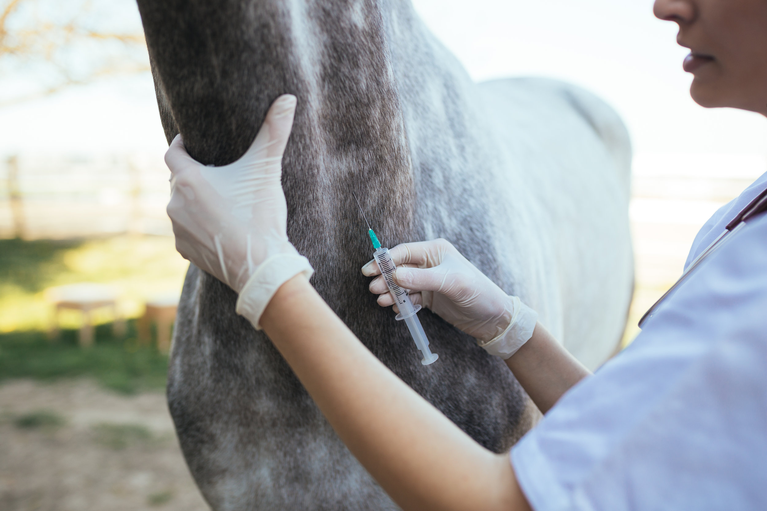 How equine influenza viruses mutate   Debra Elton and Adam Rash      Overview      Equine influenza virus (EIV) causes equine influenza in horses, characterised by a raised temperature and harsh dry cough and rapid transmission amongst unprotected horses. It is a major threat to the thoroughbred racing industry as it has the potential to spread so quickly and can cause the cancellation of events and restriction of horse movement. The last major outbreak in Europe occurred in 2003, when over 1000 vaccinated horses in Newmarket became infected. The virus spread throughout the UK and outbreaks were also reported in Ireland and Italy. More recently, more than 50,000 horses were infected during the 2007 outbreak in Australia, large-scale outbreaks occurred in India during 2008 and 2009 and multiple countries were affected by widespread outbreaks in South America in 2012. At the time of writing, another widespread outbreak has been  affecting South America, with reports from Chile, Argentina, Uruguay and Colombia to date. International transport of horses for events and breeding purposes means that equine influenza can spread readily from one country to another. Infected horses can shed the virus before they show any clinical signs of infection and vaccinated animals can be infectious without showing any obvious signs, adding to the risk.     Regular vaccination against equine influenza offers the best protection against infection. Three major vaccine manufacturers make products for the European market, each differing in the virus strains that are included in the vaccine. Sophisticated adjuvants are included in these vaccines, which help boost the horse's immune response. However, EIV, like other influenza viruses, can mutate to change its surface proteins and can thereby escape from immunity generated by vaccination. It is important that vaccines contain relevant vaccine strains, to give them the best chance of working against current EIVs.     EIV belongs to the influen
