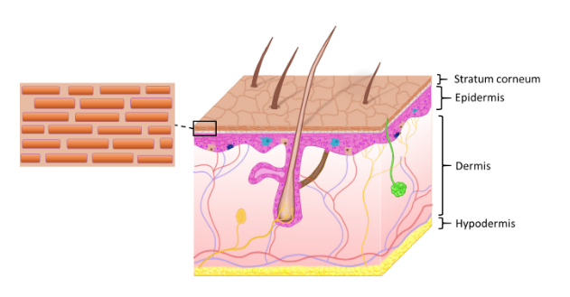Figure 1 – Anatomy of the skin with expanded illustration showing the cells of the stratum corneum ('bricks') embedded in lipid matrix ('mortar').
