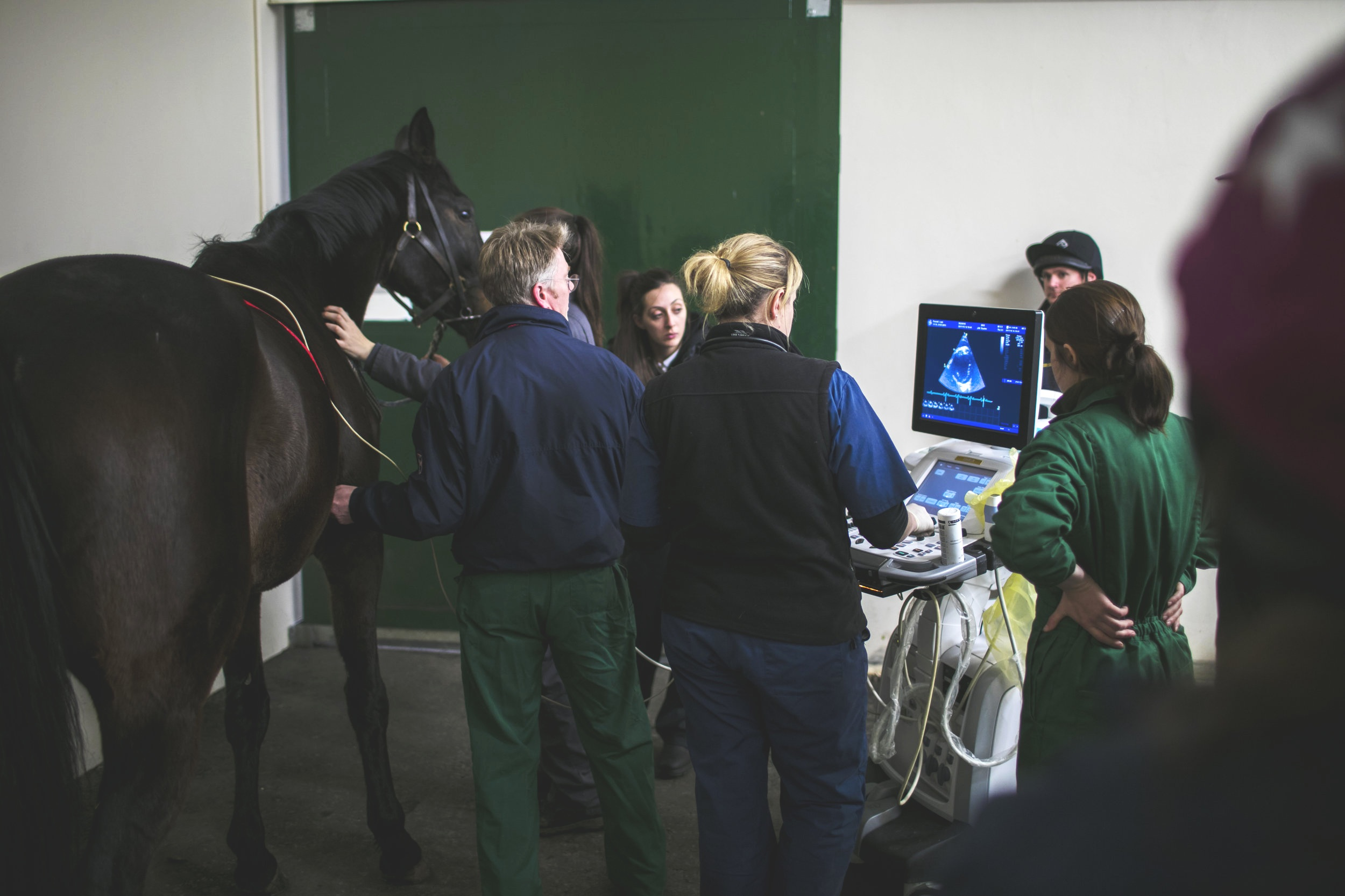 Advances in imaging of the equine athletic heart  By Francesca Worsman BVM&S MRCVS   Horserace Betting and Levy Board Senior Clinical Training Scholar in Equine Internal Medicine, Royal (Dick) School of Veterinary Studies, University of Edinburgh      Horses, through selective breeding for athletic excellence, have well-developed hearts that rarely cause problems compared to those encountered by humans. On occasions however, things go wrong. Due to their well-developed physiology, horses are at risk of a fibrillating heart (atrial fibrillation), while circumstantial evidence suggests that more severe heart rhythm abnormalities, somewhat akin to those experienced by human athletes, may cause sudden death. Ultrasound examination of the heart, known as echocardiography is a readily available tool for examining the heart and significant advances in ultrasound technology are likely to provide exciting information about the detailed function of the equine heart. A huge benefit of ultrasound is that it is non-invasive and can be carried out on a standing unsedated horse, so normal heart function is maintained during the examination.     The equine heart, like all mammalian hearts, has four chambers. The right atrium, which receives oxygen-depleted blood from the organs, passes it into the right ventricle which then pumps it to the lungs. Blood picks up oxygen in the lungs and then returns it to the left atrium, which then passes it onto the left ventricle for pumping to the organs of the body, including the muscles. Oxygen is thus delivered to the tissues and then the cycle repeats, more than 50,000 times per day! The left and right atria work in unison during heart filling (diastole), and the left and right ventricles work in unison during evacuation of blood from the heart (systole). Murmurs, often detected by veterinary surgeons when listening to hearts, are either caused by normal forward blood flow through the heart or by backflow leakage across the valves within the heart (regurgitation). Many of these murmurs are not a cause for concern, although some regurgitant murmurs are more severe and can cause problems with heart function. Similarly most heart rhythm abnormalities are innocuous and do not affect performance while others are more serious. In some horses, due to suspicion by a veterinary surgeon of a more significant problem, extensive evaluation of the heart is required; echocardiography is one of the key tools for diagnostic evaluation of the heart to assess the impact of any problems on athletic performance.    Image taken from the right side of the horse. Biplane views are on the left (4 chamber standard long axis view at top, short axis view at the bottom of the picture) and 3DE image on the right of the picture. In real-time the image can be manipulated as the heart is beating to visualise the cardiac structures from different angles. RV = right ventricle, TV = tricuspid valve, RA = right atrium, LV = left ventricle, MV = mitral valve, LA = left atrium.     Real-time three-dimensional echocardiography (3DE) is an exciting new tool that has recently become available in equine medicine and may shed light on important heart problems in horses, including those that cause poor performance. Compared to standard two dimensional echocardiography (2DE), which evaluates a single scan plane, 3DE involves the simultaneous collection of multiple scan planes from the heart to create a pyramid of scan data. 3DE is preferable to 2DE because in theory it does not rely on geometric assumptions on chamber shape to calculate chamber volumes. Also assessment of heart architecture and function (including that of valves) is likely to be more accurate as the technique provides unlimited viewing planes. Finally, for assessment of regurgitant flow, this technique should also be better because the image can be manipulated to better assess the leaky flow from those valves. In humans, for certain heart volume and muscle mass measurements, 3DE is more comparable than 2DE to cardiac magnetic resonance imaging (MRI), which is the acknowledged gold standard. Unfortunately, owing to the significantly larger size of horses, there is currently no equipment available for equine cardiac MRI. Therefore, 3DE could provide the next best option for more detailed equine cardiac evaluation.  Mitral valve regurgitation for example is commonly encountered in the equine athlete and, while often of no consequence, in more severe cases, it may lead to poor performance. Pathological consequences are due to backflow leakage causing secondary left atrial volume overload, and this will lead to an increased likelihood of atrial fibrillation. Potential advantages of 3DE in this context are more accurate assessment of the degree of volume overload, the regurgitant orifice (i.e., size of the hole!), and the valve structure and motion. Mitral valve regurgitation can be easily confirmed by 2DE, however it can be more difficult to ascertain the cause and severity. With 3DE, the software allows manipulation and therefore anatomic evaluation of the valves from many angles including 'face-on' views. This results in more detailed evaluation of subtle abnormal valve motion and confirmation of suspected findings, which can't be reliably detected by 2DE - eg. mitral valve thickening, mitral valve prolapse or ruptured chordae tendineae as the cause of the mitral valve disease. Geometric assumptions on volume are avoided as much more structural data is obtained.  A few specialist centres worldwide currently offer 3DE imaging for horses including the Equine Hospital at the Royal (Dick) School of Veterinary Studies, University of Edinburgh. In equine medicine we are still at an early stage of using 3DE as it is not validated in horses, therefore it is mostly used in research at the moment as opposed to routine diagnosis. As part of my research at Edinburgh, sponsored by the Horserace Betting and Levy Board, I have been assessing the left atrial volume using 3DE from thoroughbreds in training. One of my aims was to determine the variability of equine left atrial volume measurement using a special 3DE software analysis package to see how much variation there was between successive 3DE measurements by the same person. Forty-four National Hunt thoroughbreds in training were scanned to obtain the 3DE views of this chamber. We then graded them to exclude images of reduced image quality so that we were only assessing good quality images of the left atrium. In total 24 horses were included—aged 4-9 yrs, weighing 411-534kg. I analysed the images retrospectively, after the horses were scanned. I didn't include any horses with grade >3/6 heart murmurs. This was because we first need to validate 3DE with normal, healthy hearts. Random generated order measurements were obtained by a single person on four occasions. Real-time three-dimensional end-systolic (ESV) and end-diastolic (EDV) left atrial volumes were measured using 3DE software, and the results were then statistically analysed.  The preliminary results gave an average EDV of 593ml (range 349ml-1.029L), while ESV was 381ml (range 200-695ml). Lower observer variation for ESV measurements was observed (16%) compared to EDV (23%). There was good agreement between measurements.     (image 2)     Re-orientated 3DE image of the mitral valve (MV) during systole. LA = left atrium, LV = left ventricle.  So far the research has shown that 3DE, and the software for analysing it, is a quick, effective and practical tool for obtaining equine left atrial volume. This may provide a really useful means of better assessing the consequence of problems with the mitral valve in horses. Results may improve further with refined measurement guidelines. Further research being carried out includes comparing 3DE left atrial volume measurements to 2DE measurements and comparing 3DE left volume measurements in healthy hearts to those with mitral valve regurgitation. In the future there will likely be validated 3DE measurements for all structures of the equine heart. We have an equine cardiology group here at Edinburgh with PhD students who are also pursuing research into the use and benefits of 3DE for assessing the heart in racehorses as well as using other exciting ultrasound technologies to assess heart muscle function. They are concentrating on better assessment of the ventricles in the equine athlete and looking at training-induced changes in these chambers, with racehorses in training as a specific focus. There is no doubt that in the near future, after more validation, 3DE will likely be the preferred option for evaluation of cardiac abnormalities in the racehorse for the diagnosis of disease, for monitoring performance and to provide a more accurate prognosis. Novel imaging techniques such as 3DE will provide important insight into the physiology of the horses heart thereby helping us better understand cardiac causes of poor performance as well as those very rare, but high-impact, cases of sudden death.   Acknowledgements:    The author would like to acknowledge manufacturer GE Healthcare for the equipment and software and thank Lucinda Russell for the use of her horses.