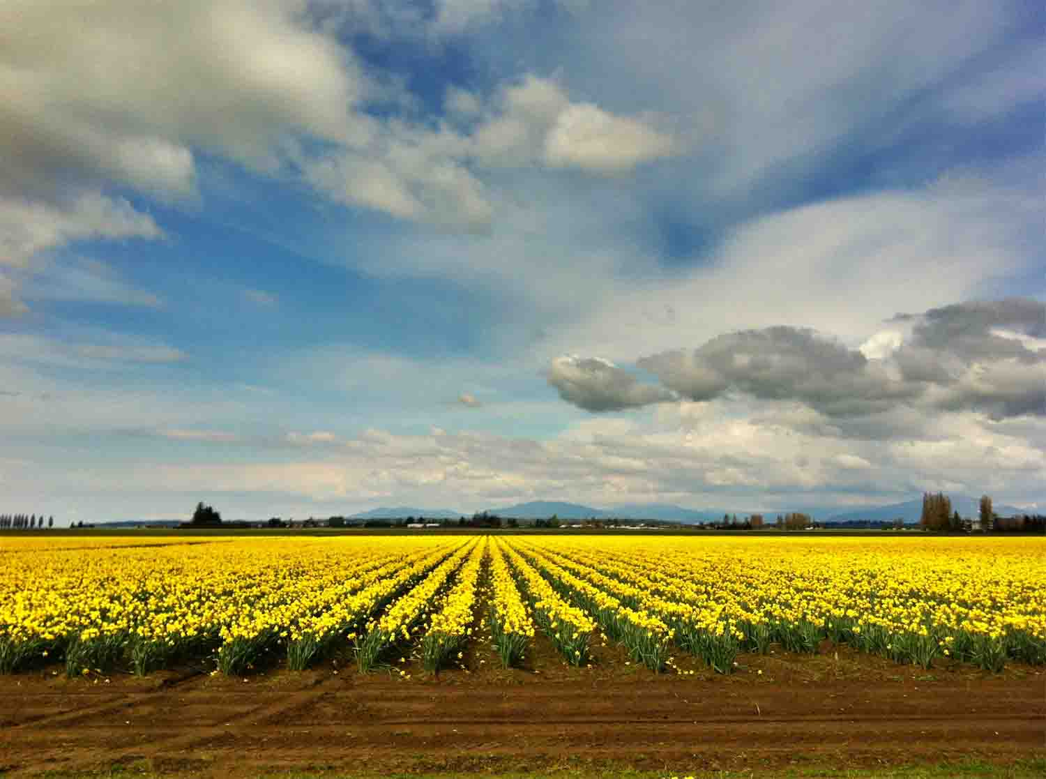 Tulip fields yellow copy.jpg