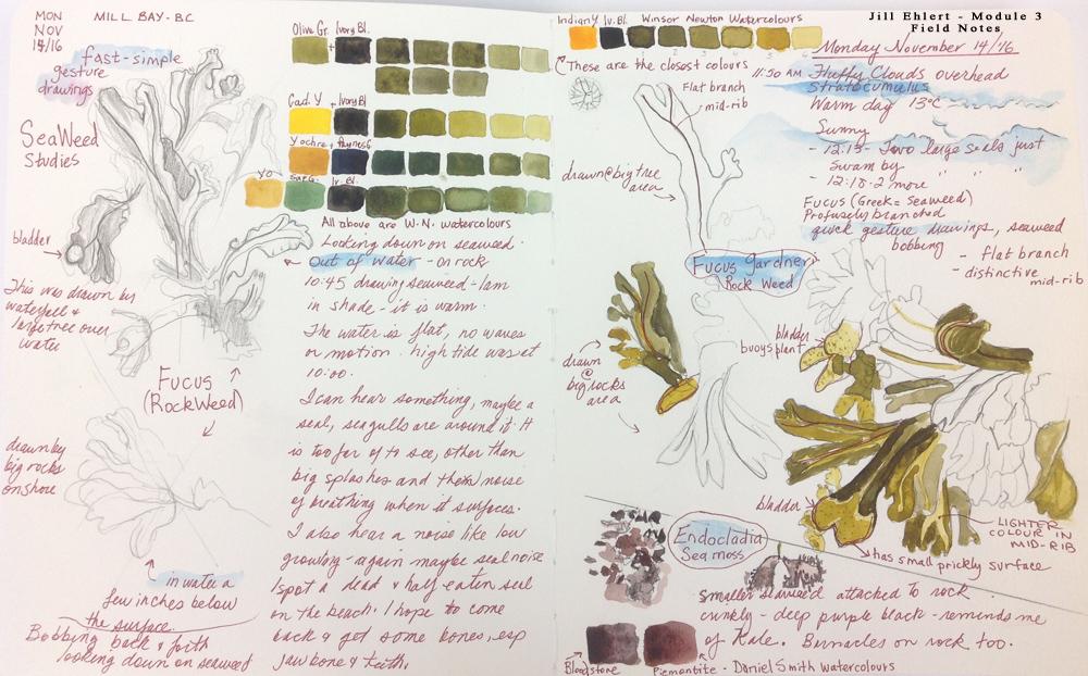 Field Sketches: seaweeds