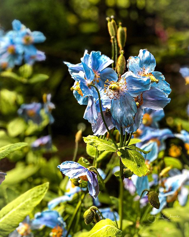 Yesterday, was a beautiful but cool day @thebutchartgardens in @victoria_city_canada  I was thankful to be in the gardens at this time, to catch the sun on these beautiful Himalayan blue poppies. Soon they will be over. @creativelysquared #cs_chasethesun @hannahargyle #colorblue #colourblue #bluepoppies #himalayanbluepoppies #yyjartist #tourismvictoria