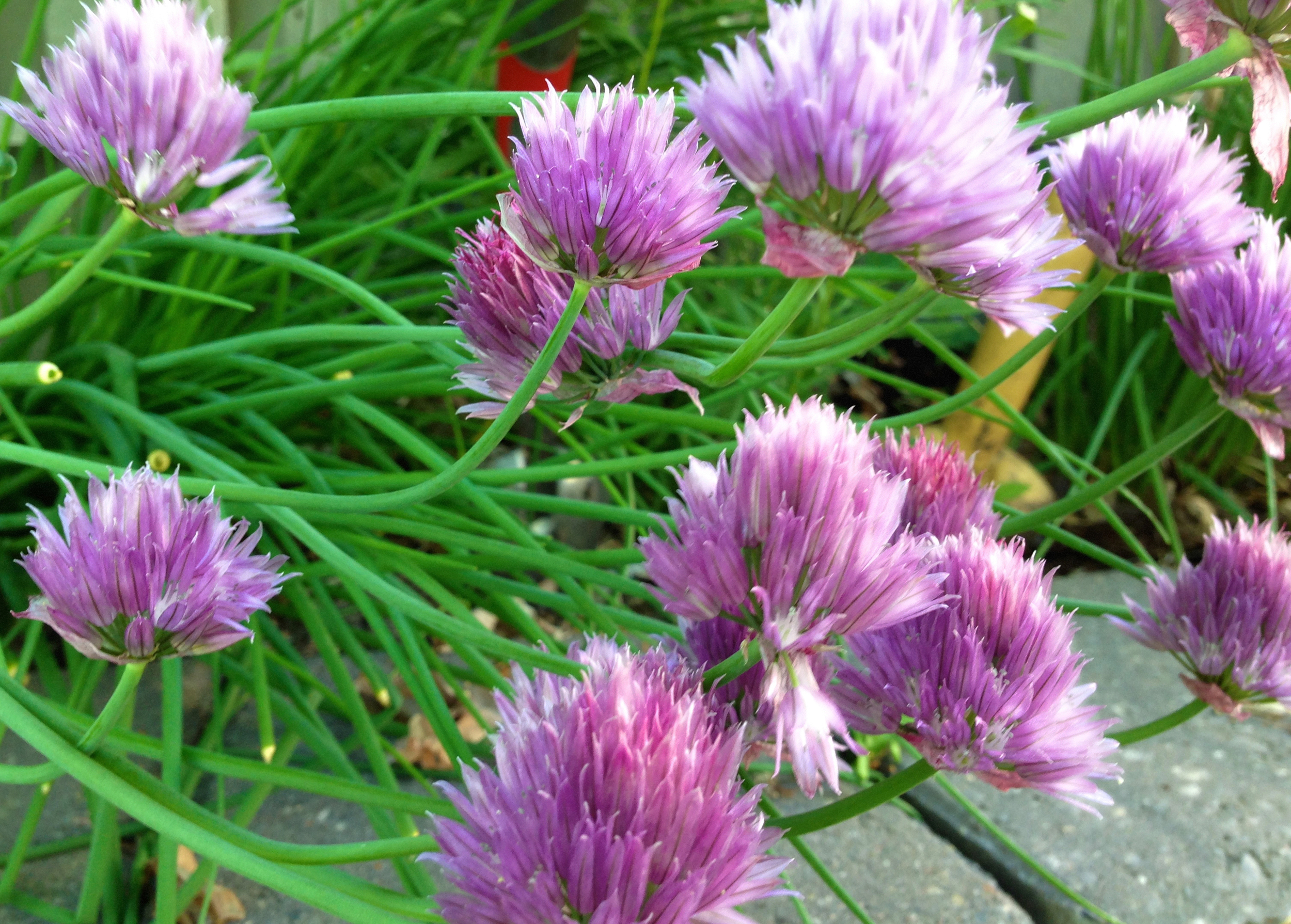 Chives A Coming On VHS 2014, posted May 3, wk 45