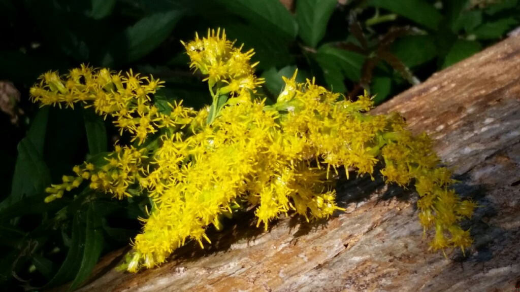 Golden Rod in its glorious bloom