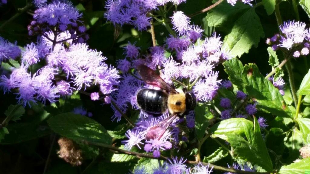 Bee enjoying argeratum