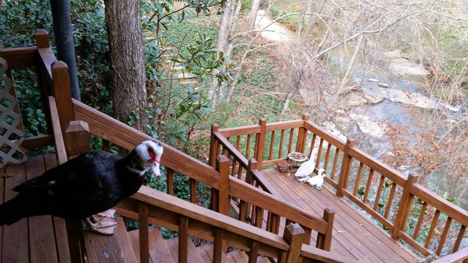 John Wiley enjoyed the company of a beautifully colored Muscovy Duck for a month, at his home on the South Fork near Clairmont Road. He reports the duck hung out with mallards and a blue heron, dining on wildlife and John's cheerios.