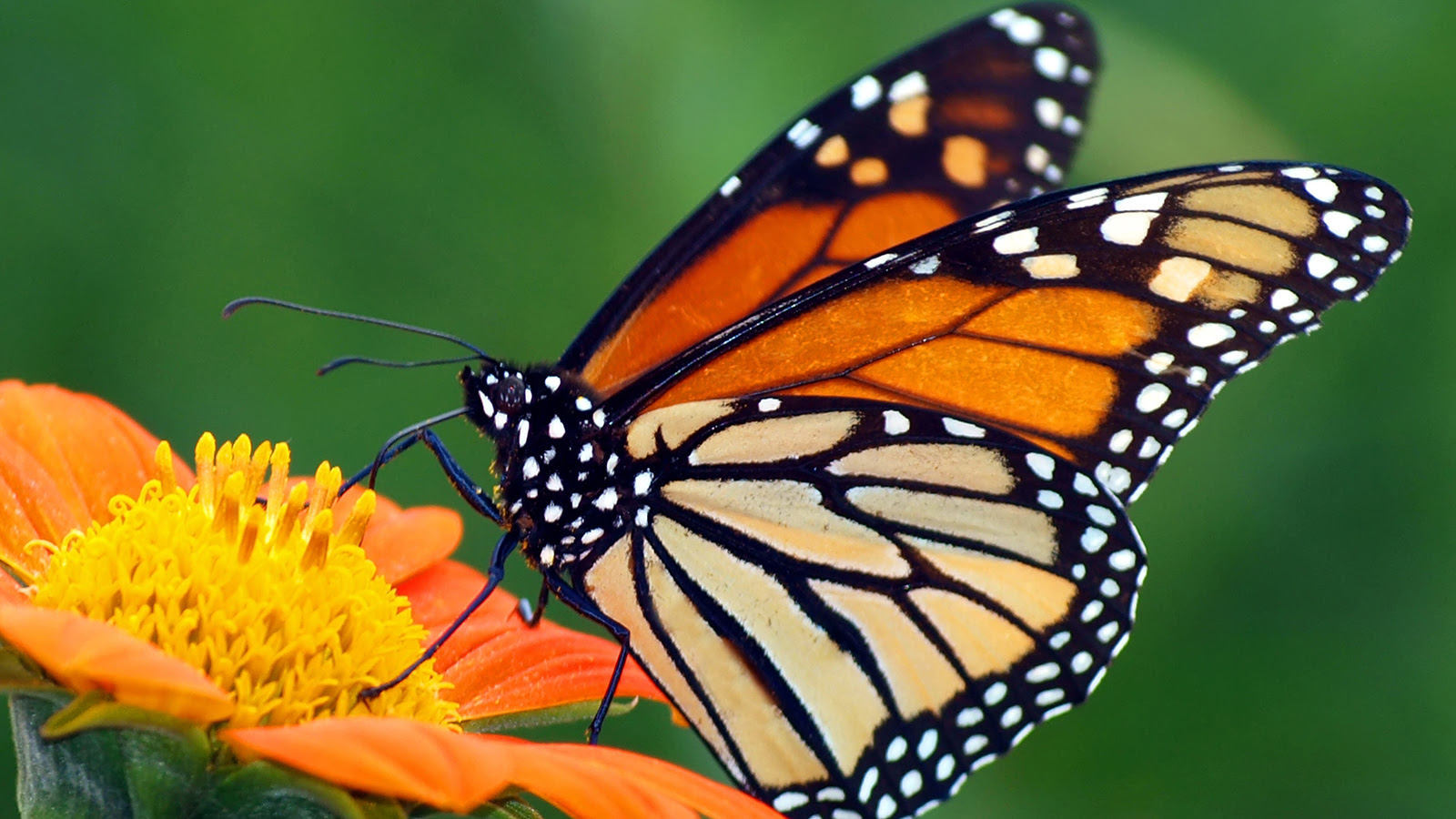 Monarch Butterflies require milkweed for laying eggs. Photo by NatGeo.