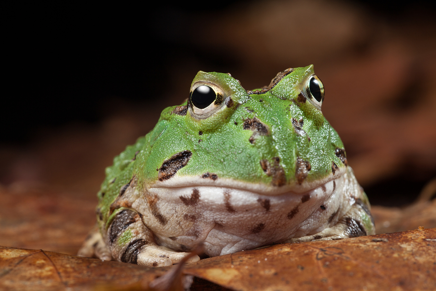 Image of Pacman frog/toad aka South American horned frog