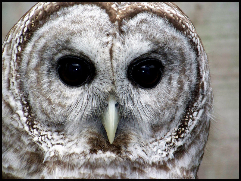 This is the one photo on this website that I did not take ~ I used google to find out that I encountered a barred owl. These are its eyes.
