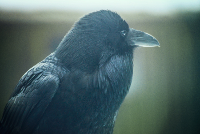 cori storb the raven green copy.jpg