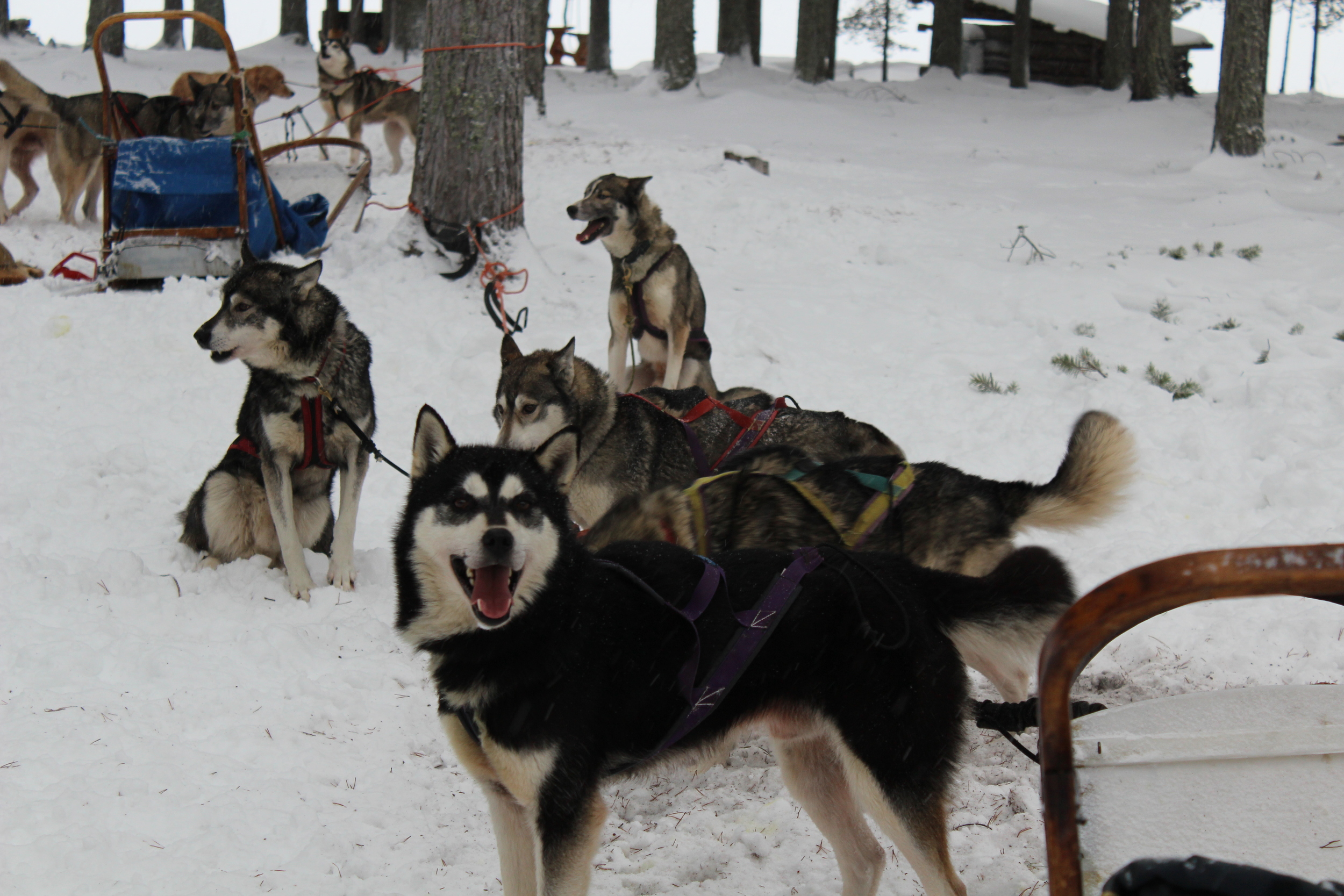 Here are the dogs all harnessed up for a sled ride. Although they are sitting here, often they are so excited to get going that sleds are ALWAYS tied to a tree or anchored in the snow with a big metal spike.