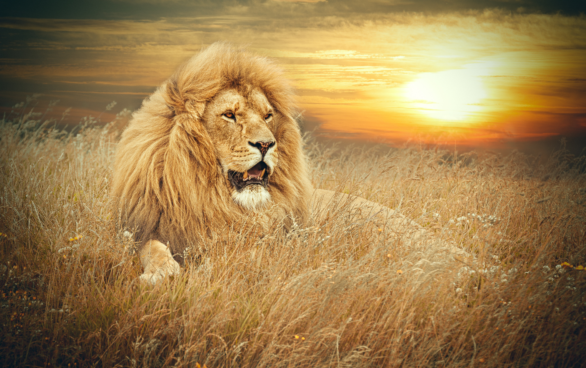 Lion art for sale on Fine Art America