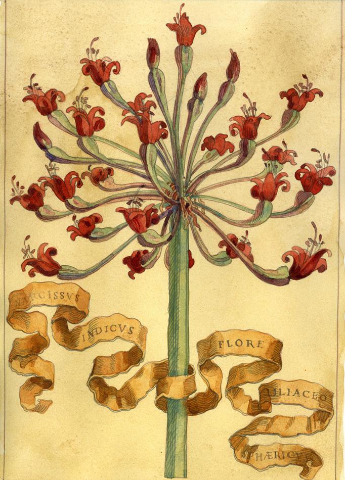 NarcissusSphaericus.jpg