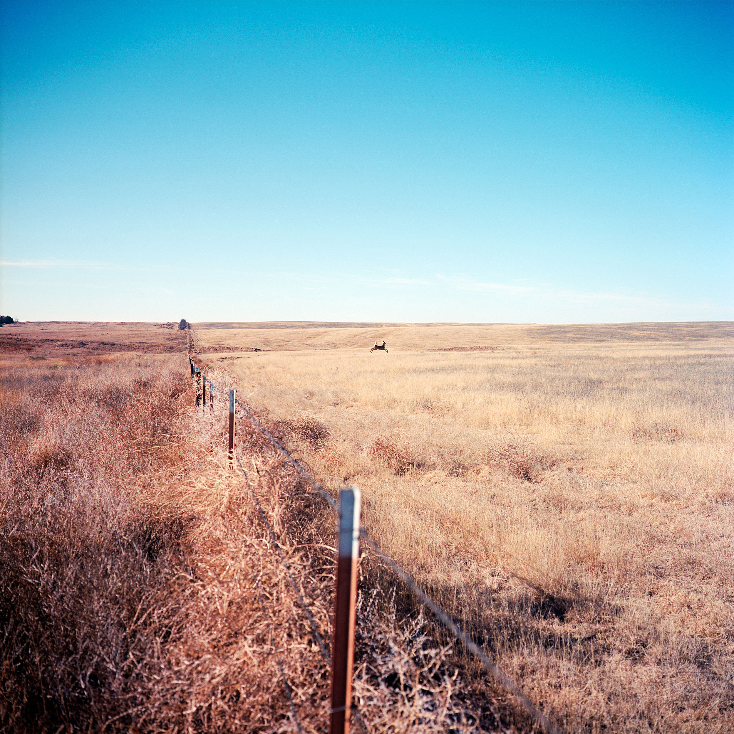A white-tailed deer sprints away from tracks left over from the old Santa Fe Trail near Dodge City, Kansas. Opened by Spaniards at the end of the 18th century, the Santa Fe Trail brought migrants into the west in the 19th century from 1821 until 1880.