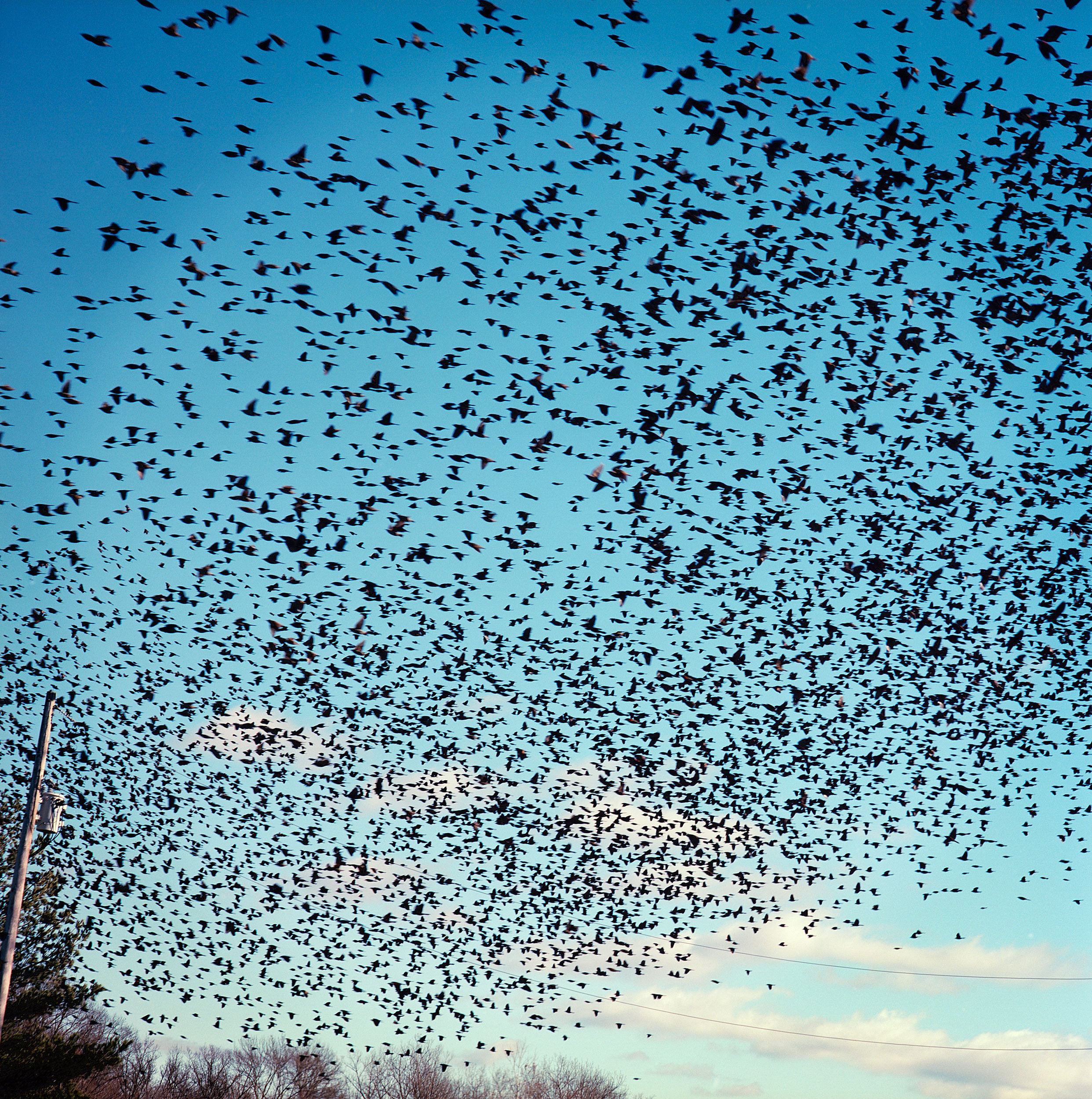 A murmuration of starlings near Odin, Illinois.