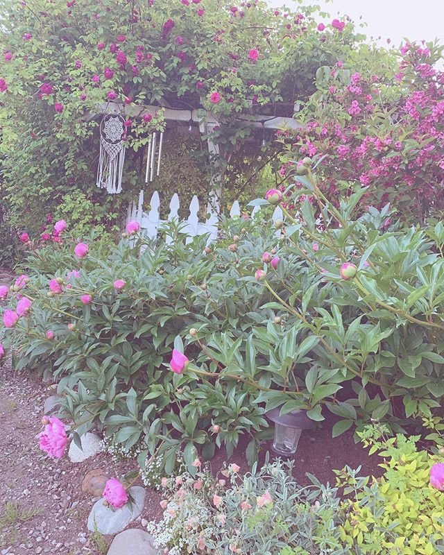 strolling around in my garden with a hot mug of tea warming my hand is my most cherished thing this time of year. 🌿🌸#faecottage #gardening #garden #faegarden #faegardens #climbingroses #roses #antiqueroses #peonies #begonias #azaleas