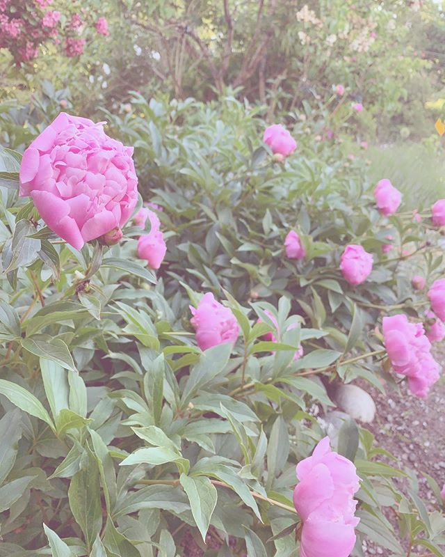i could never have enough peonies.🌿🌸 #faecottage #peonies