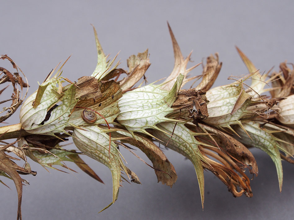 Acanthus seedhead.jpg