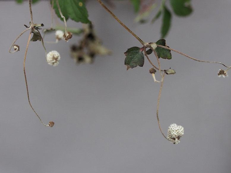 Anemone seedhead.jpg
