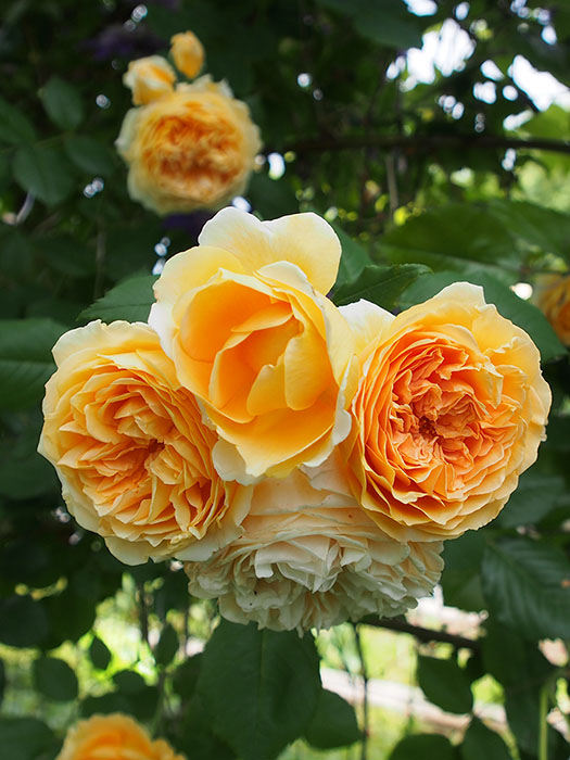 David Austen 'Crown Princess Margareta' rose: an arching climber with prolific and repeat blooms. For best results seek out only plants that are either original stock or have been grafted onto hardy Canadian rootstock. Also bury the rootstock much deeper than you normally would.
