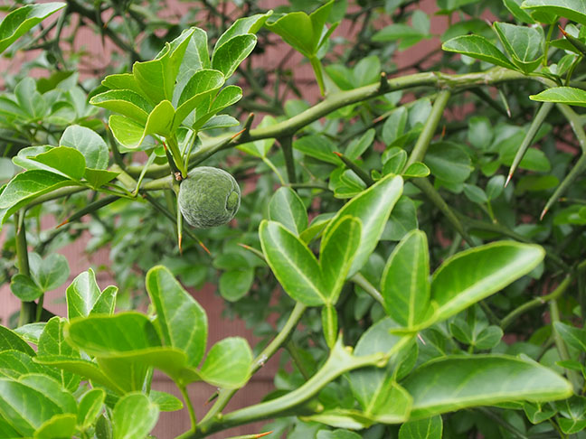 Behold the forming fruit and enormous thorns of  Poncirus trifoliata,  or hardy orange.