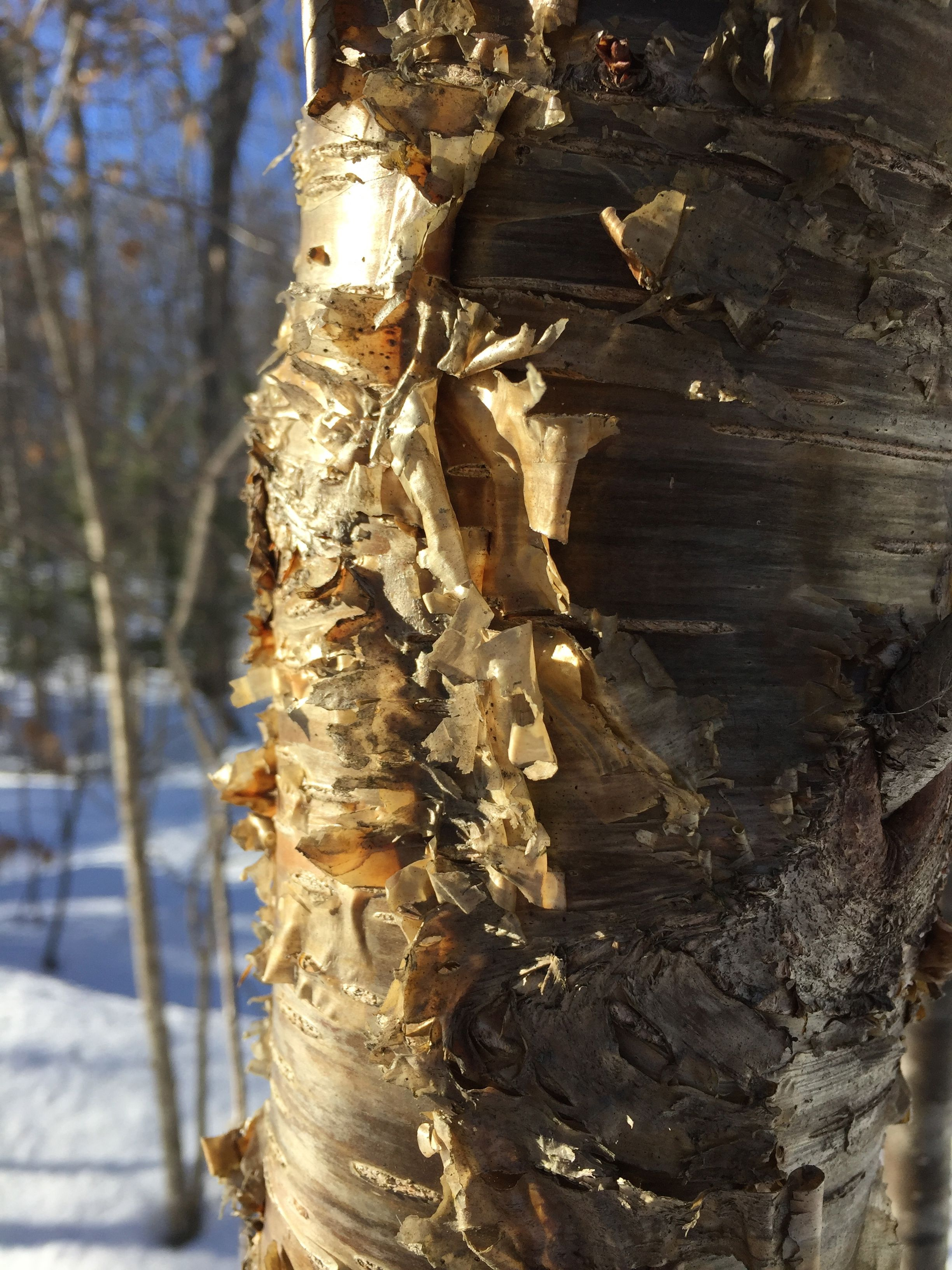 Betula alleghaniensis    (Yellow birch)