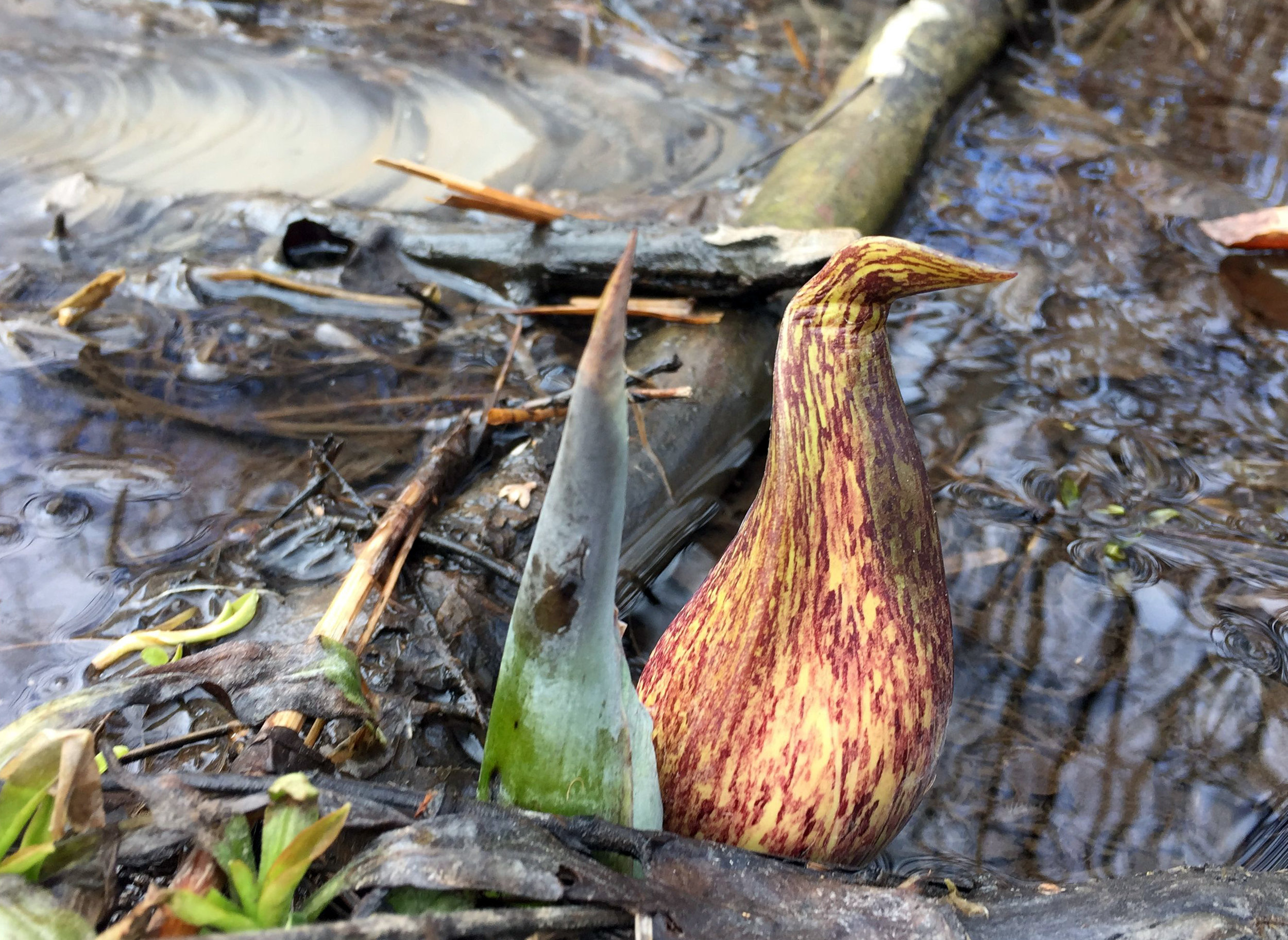 Skunk Cabbage found in its preferred habitat: wet woods