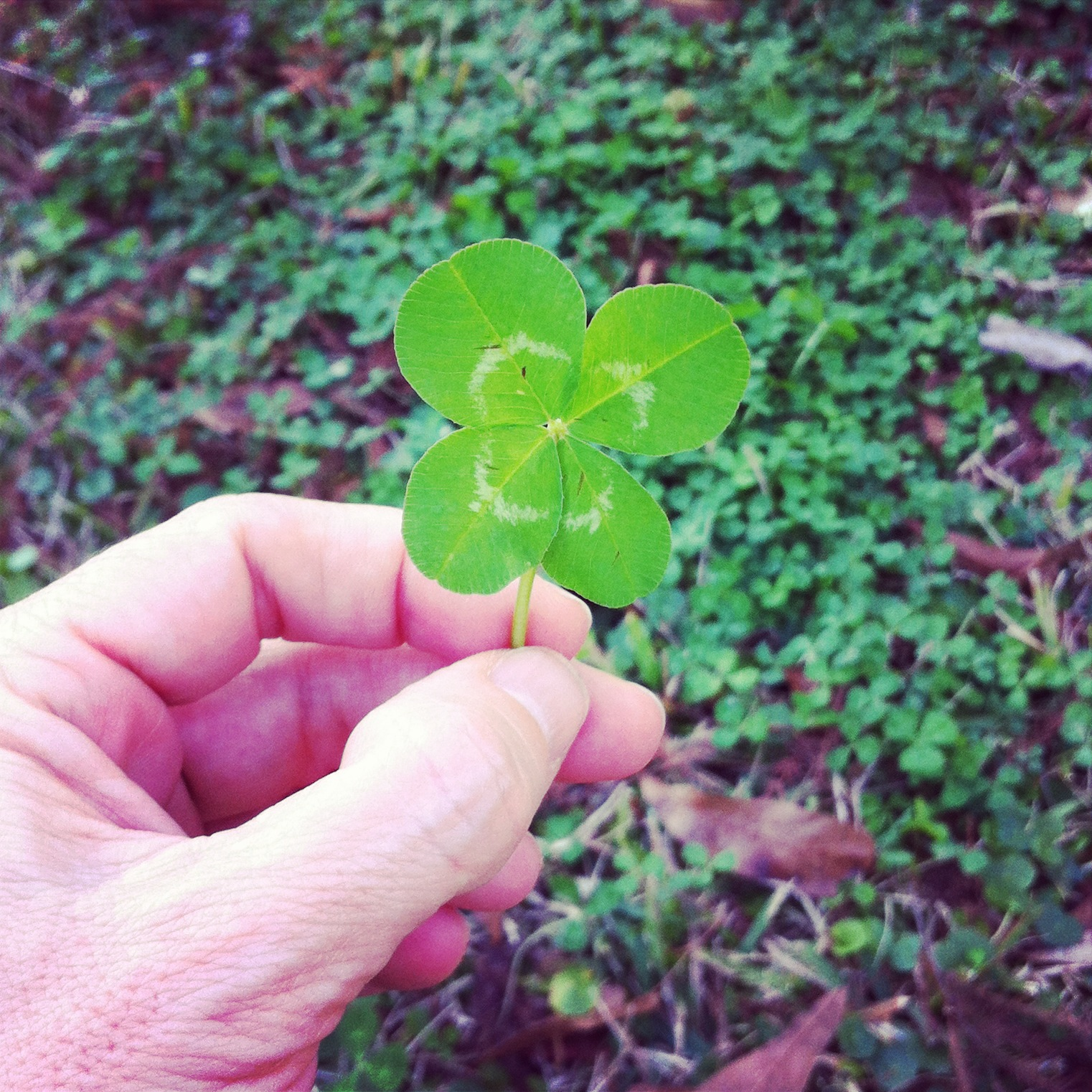 That extra leaf is filled with the luck!