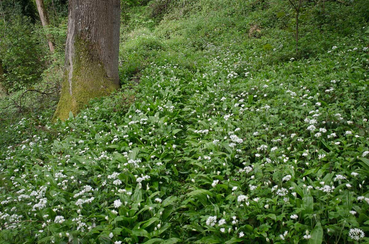 garlic-path.jpg