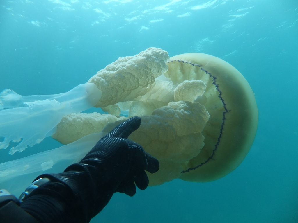 Jellyfish 6 compressed.jpg