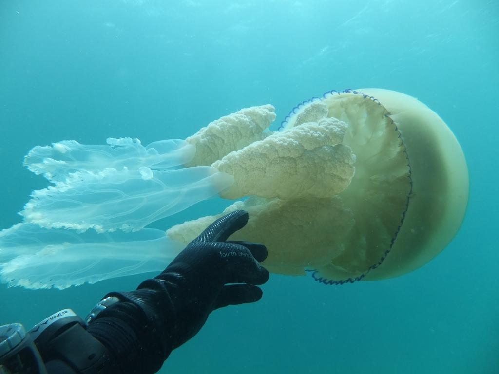 Jellyfish 7 compressed.jpg