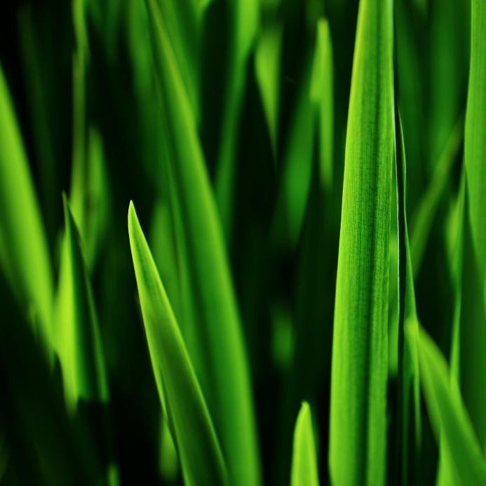 Grass at dawn