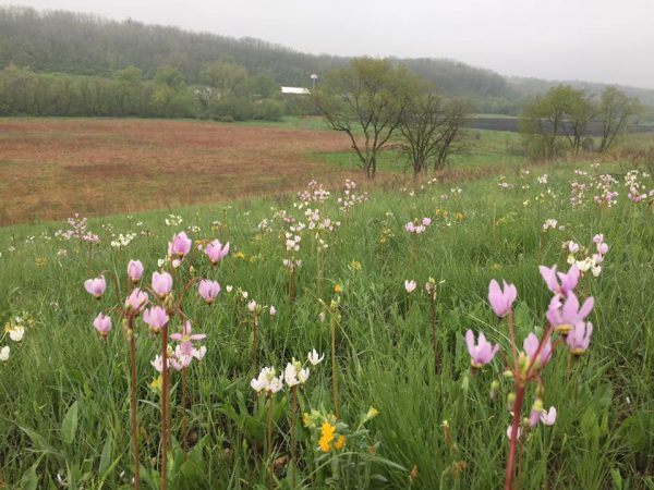 Prairie flowers like these shooting stars attract native pollinators